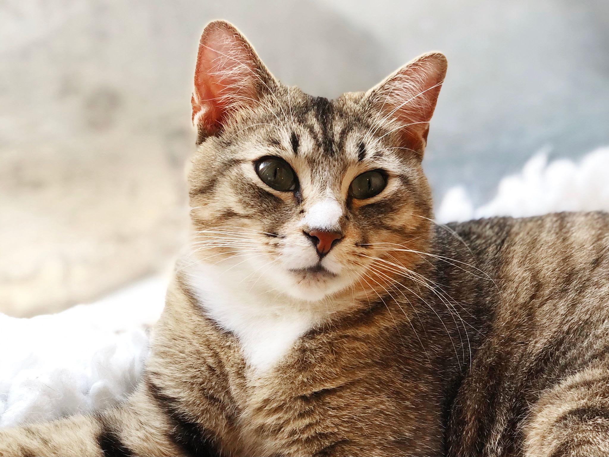 neko-cute-kitty